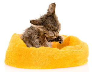 Cute soggy kitten after a bath. isolated on white background