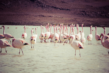 Vintage Flamingos on lake in Andes, the southern part of Bolivia