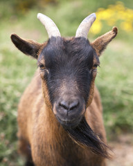 Staring Goat