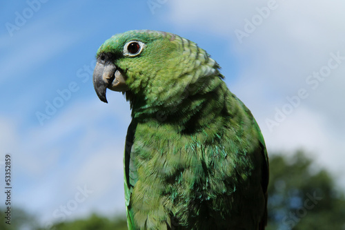 A Beautiful Green Mealy Amazon Parrot Bird,