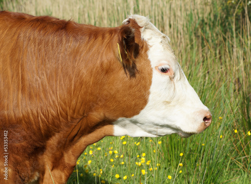 Head of Brown and White Cow