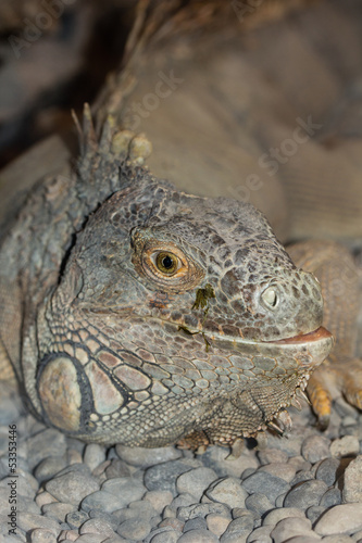 portrait of the Iguana