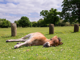 Cute Brown Pony Foal Sleeping on the Grass in New Forest England