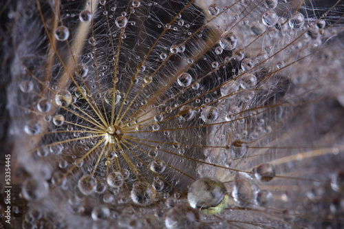 Dandelion seed covered water drops