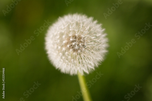 beautiful dandelion on nature