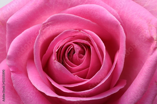 Close up of pink rose heart © fullempty