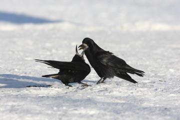 Rook, Corvus frugilegus