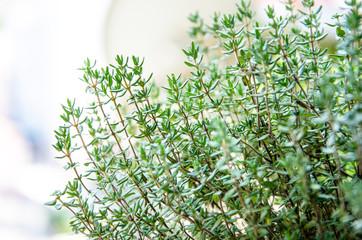 Greem fresh growing thyme herb