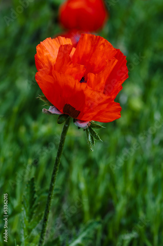 Single poppy flower in the field