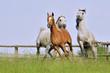 trzy konie arabskie