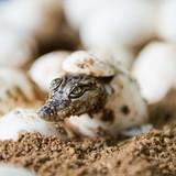 Little baby crocodiles