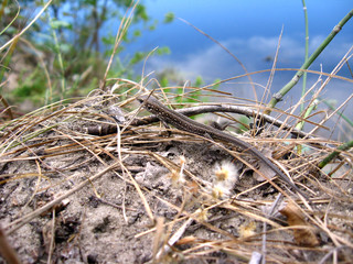 The grey lizard near the river