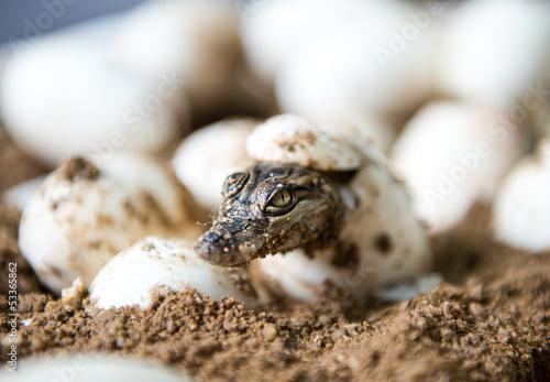 Foto op Canvas Krokodil Little baby crocodiles