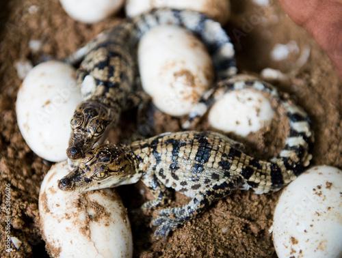 Fotobehang Krokodil Little baby crocodiles
