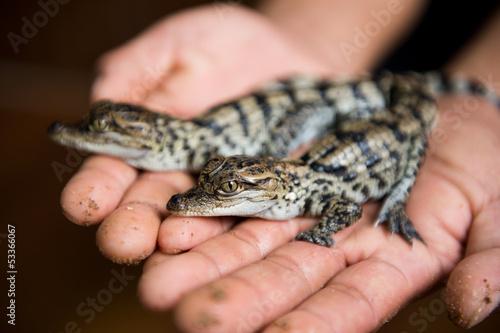 Aluminium Krokodil Little baby crocodiles
