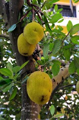Jackfruit tree with hanging fruits and leaves