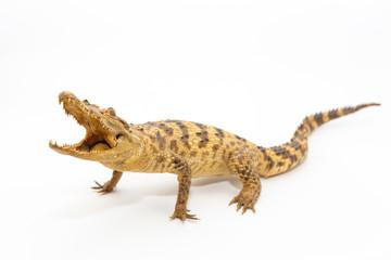 Young Crocodile
