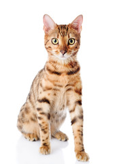 Cat Bengal breed. Isolated on white background.