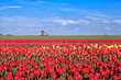 red, pink, yellow tulip fields and windmill