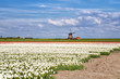 white, red tulips and Dutch windmill