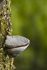 Champignon polypore sur tronc d'arbre