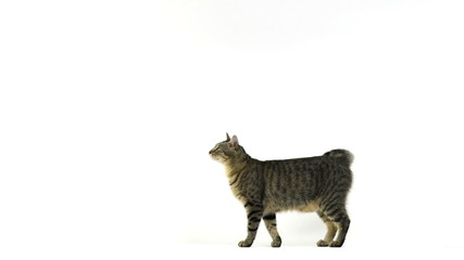 Cat walking, looks at the camera, sits then walks away