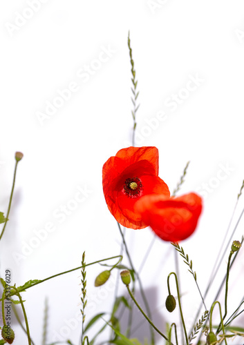 Isolated red poppies