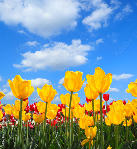 Showy spring blooming of yellow tulips