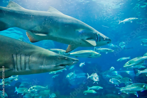 sand tiger shark (Carcharias taurus)  underwater close up portra
