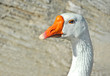 White goose portrait with beak bright orange beak