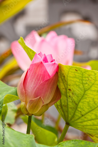 beauty of lotus in garden