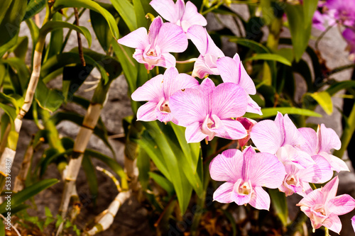 beauty of orchid in thailand