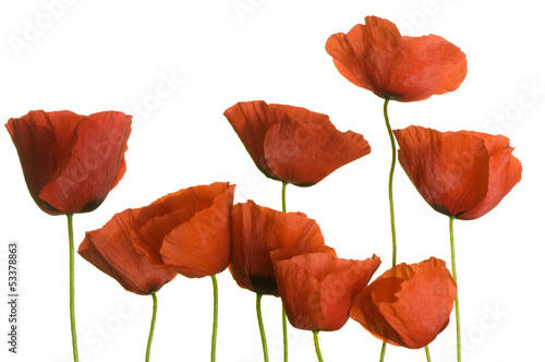 poppies on pure white background