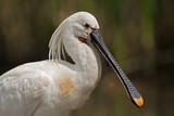 Beautiful spoonbill portrait