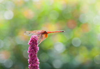 Meadowhawk dragonfly resting on flower stalk