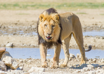 Aggressive male lion