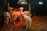 young Lamb under heat lamp