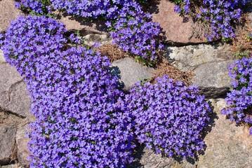Blaukissen an Trockenmauer