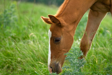 Horse Foal eating in field