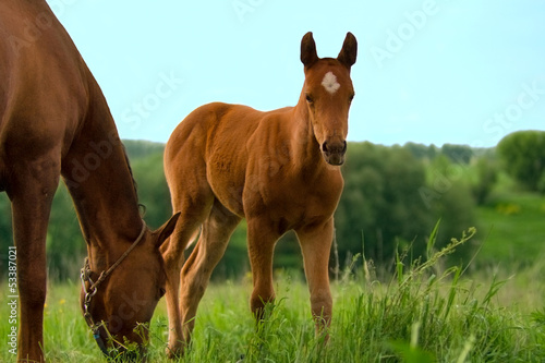 Horse and colt on green meadow at spring day