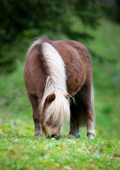 Shetland pony eating grass in field.