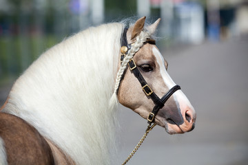 Horse portrait with beautiful long hair.