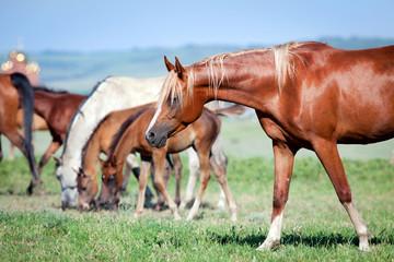 Herd of arabian horses at pasture.