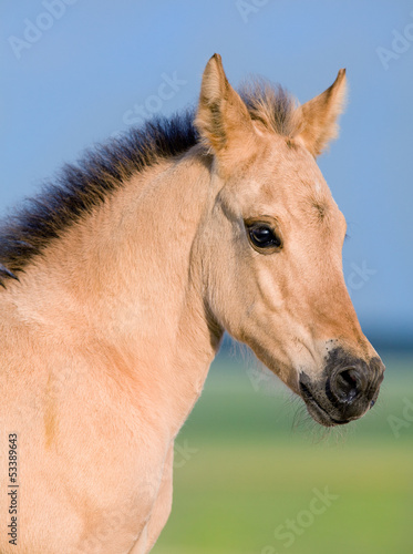 Portrait of foal at pasture in summer.