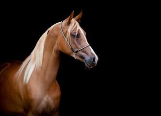 Chestnut horse portrait isolated on black background.