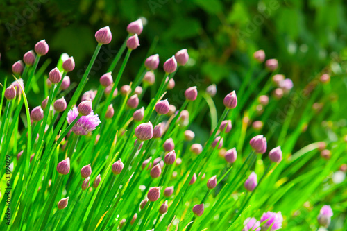 Chive flowers.