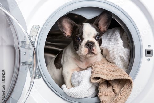 French bulldog puppy inside the washing machine