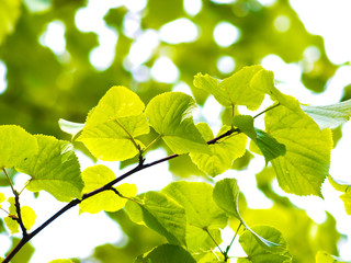 European aspen tree, fresh green leaves