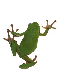 European tree frog isolated on white background, Hyla arborea