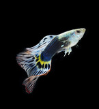 fish guppy pet isolated on black background